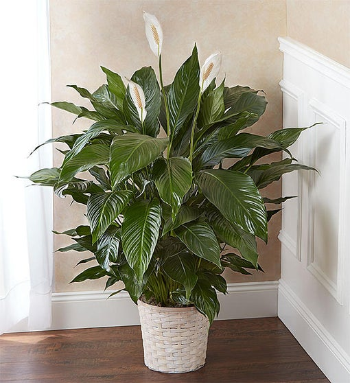 Peace Lily - Jaylas Flowers - Nappanee Florist IN