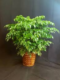 China Doll Fern Serpent Tree For Sale