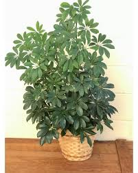 schefflera arboricola product for sale